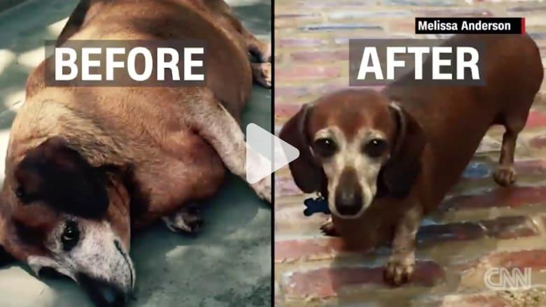 بالفيديو: كلب سمين يفقد نصف وزنه بعد خضوعه لنظام غذائي صارم
