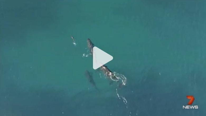 بالفيديو: دلافين من نوع الحيتان القاتلة تطارد سمكة قرش