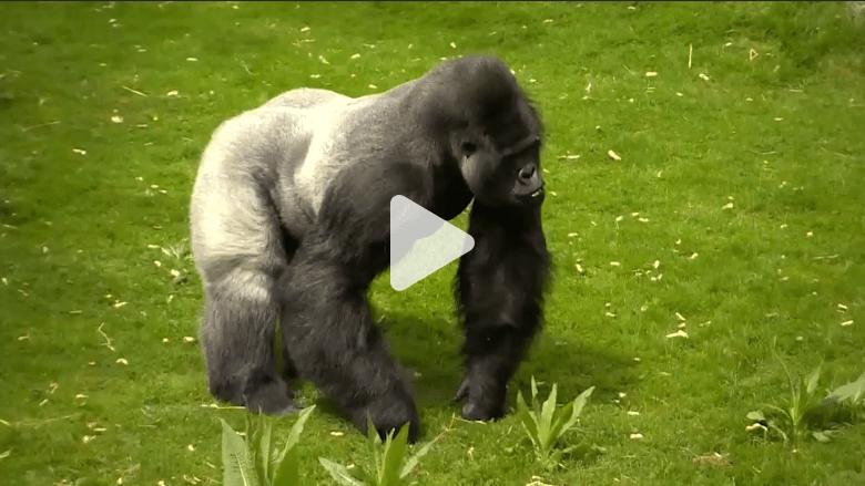 بالفيديو: كم بقي من الغوريلات في العالم.. وهل اقتربت من الانقراض؟
