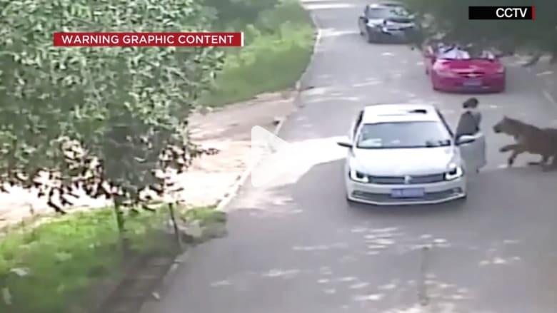 شاهد.. نمر ينقض ويقتل امرأة خرجت من سيارتها برحلة سفاري بالصين