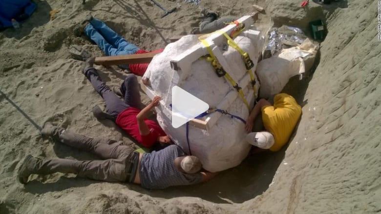 """اكتشاف جمجمة ديناصور """"T-Rex"""" عمرها 66 مليون عام"""