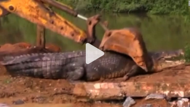 العثور على تمساح عملاق في سريلانكا