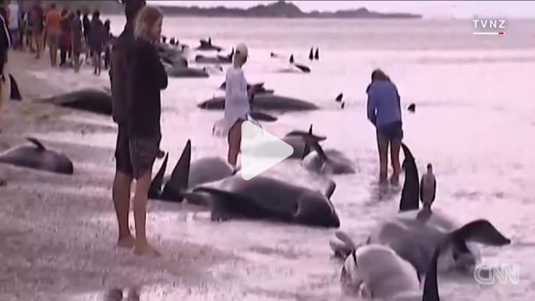 مئات الحيتان تجنح على شواطئ نيوزيلاندا