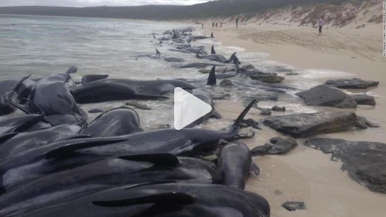 شاهد.. جنوح أكثر من 150حوتا قبالة شاطئ في أستراليا