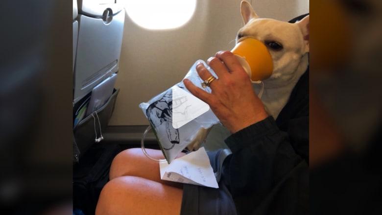 شاهد.. طاقم طيران يعطي قناع أكسجين لكلب في رحلة جويّة