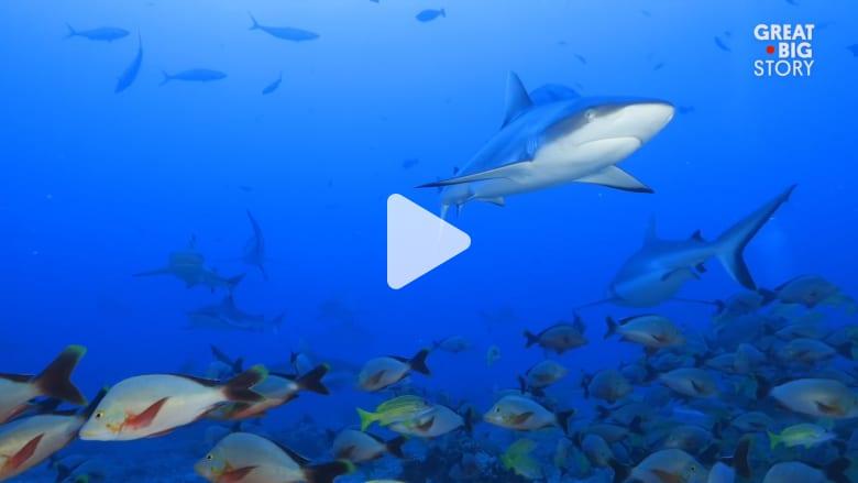 اسبح مع أسماك القرش الهائلة العدد على هذه الجزيرة