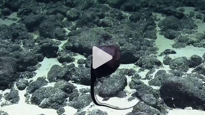 لن تصدق ما تراه.. سمكة تغير شكلها في وسط الماء