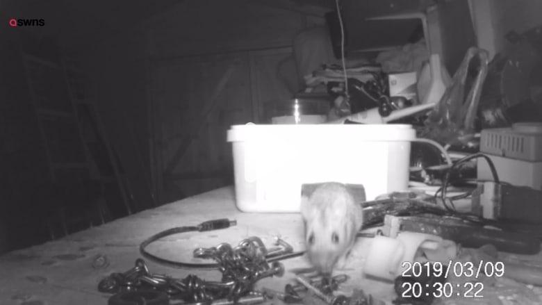 """هذا الحيوان القارض سمي بـ """"فأر بريكست"""".. ما هو السبب؟"""