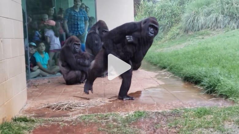 فيديو يتلقط الغوريلات خلال محاولتها المضحكة لتجنب المطر