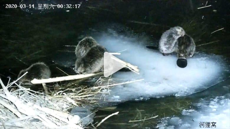 """فيديو نادر لعائلة من حيوانات القندس تتناول """"العشاء"""" لـ6 ساعات معاً"""