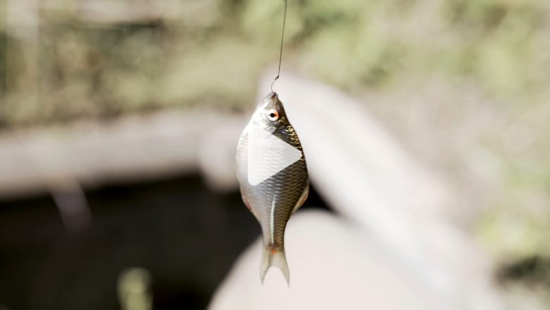 صغيرة مثل ظفر إصبع الخنصر.. تقليد ياباني لصيد واحدة من أصغر أسماك العالم