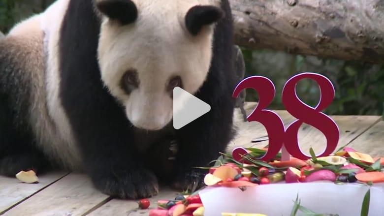 أكبر باندا في العالم تحتفل بعيد ميلادها الـ38
