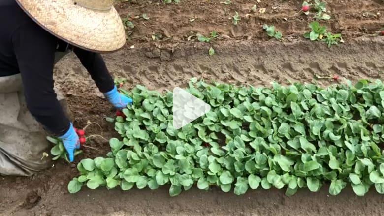 شاهد.. هذا ما يتكبده عمّال المزارع من تعب لإيصال محاصيلك المفضلة لطاولة طعامك