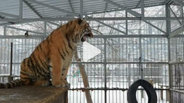 """استمع لهذا النمر """"يغني"""" بحديقة حيوان في روسيا"""