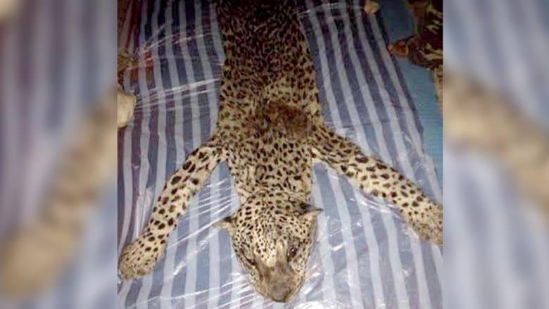 السعودية تحقق في قتل نمر نادر.. العثور عليه مسلوخا بعد أن اشتراه أحد الأشخاص