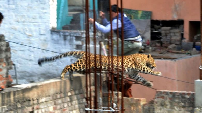 نمر يفرض الطوارئ على قرية هندية
