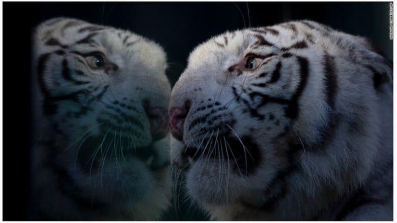 كيلو.. نمر البنغال الأبيض.