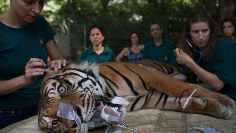 كيف تقدم الرعاية الطبية للحيوانات البرية؟