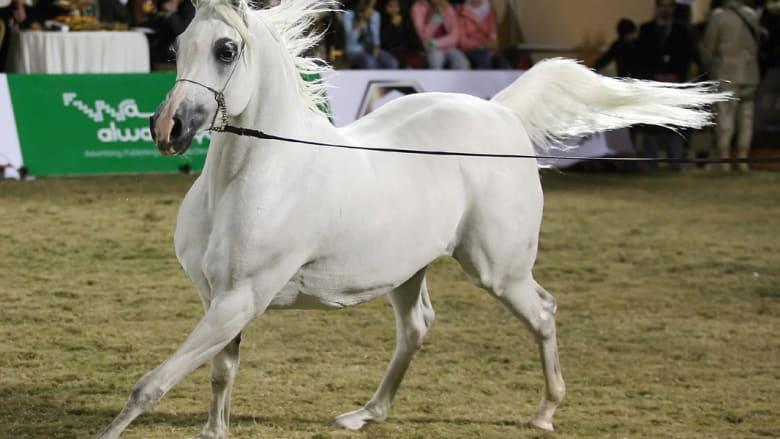 كيف يتم اختيار أجمل الخيول العربية؟