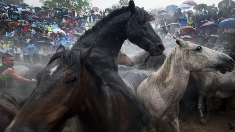 كيف تُروض الخيول البرية في اسبانيا؟