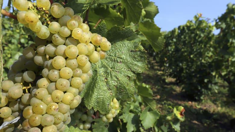 حصاد العنب بفرنسا