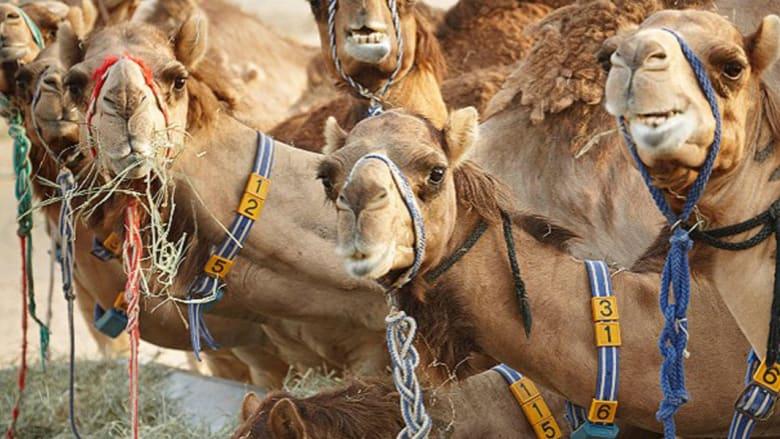 بالصور..كيف تحولت منتجات الإبل إلى علامة تجارية فاخرة في الإمارات؟