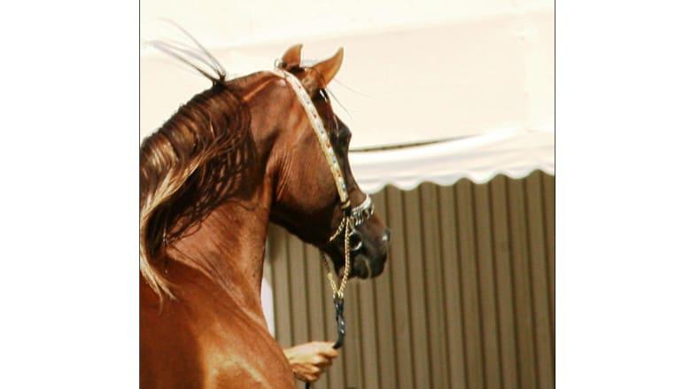 أصغر مصور للخيول العربية .. بدأ بعمر خمس سنوات