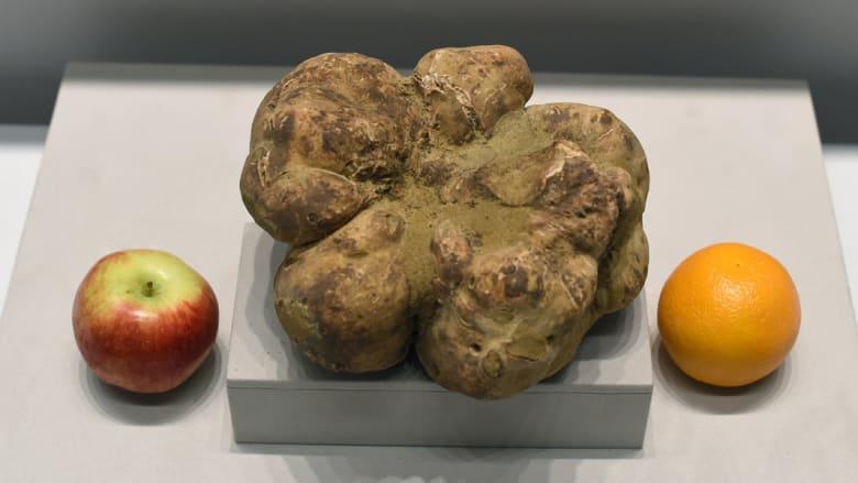 أكبر قطعة كمأة، يبلغ وزنها 1.89 كيلوغراما