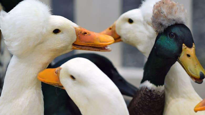 معرض هواة تربية البط في مدينة لايبزيغ الألمانية