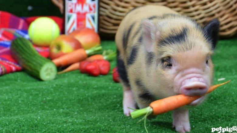بالصور..مقهى غريب من نوعه..لمحبي الخنازير في لندن