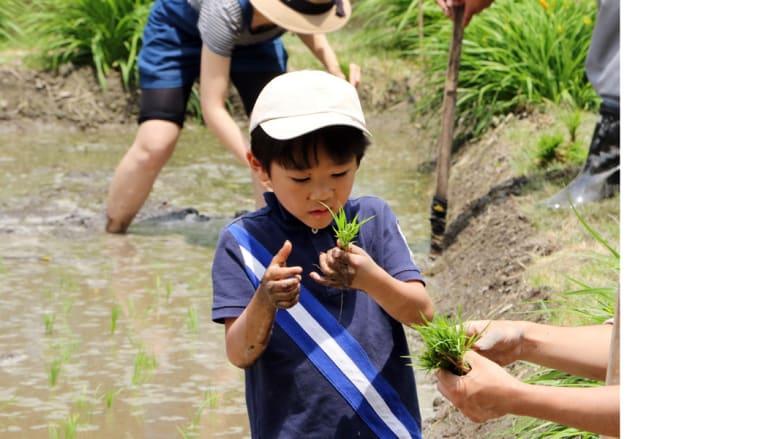 بالصور.. تقليد ياباني يتوارثه الصغار عن الكبار.. زراعة الأرز في الحدائق