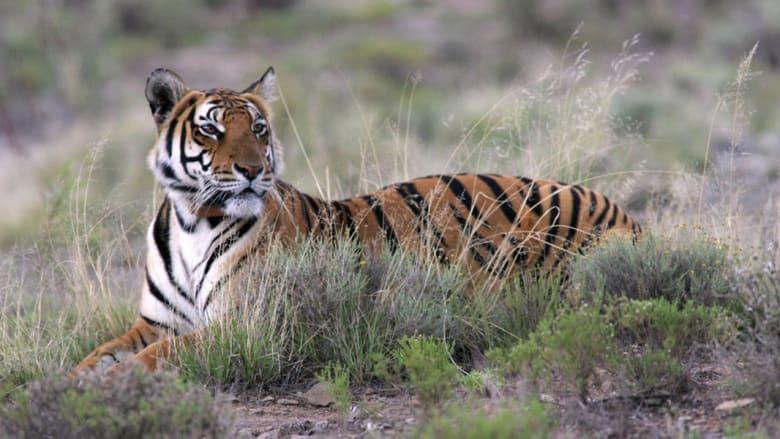 نمر جنوب الصين
