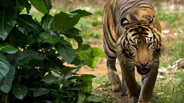 نمر سومطرة