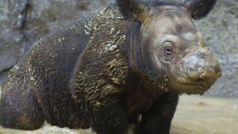وحيد قرن سومطرة