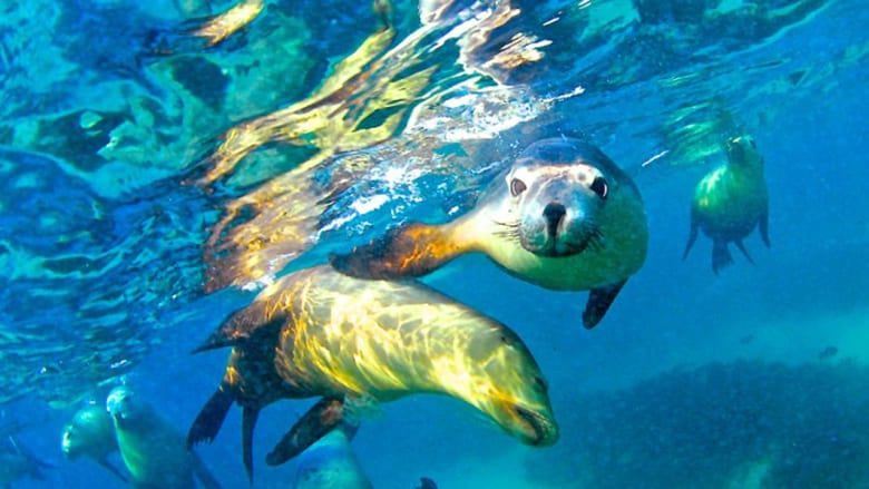 أسد البحر الأسترالي