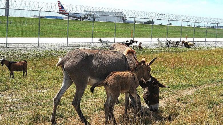 """البشر ليسوا وحدهم نجوم المهمات الصعبة..حيوانات اللاما لحراسة أمن المطارات والكلاب لتخفيف """"فوبيا"""" الطيران"""
