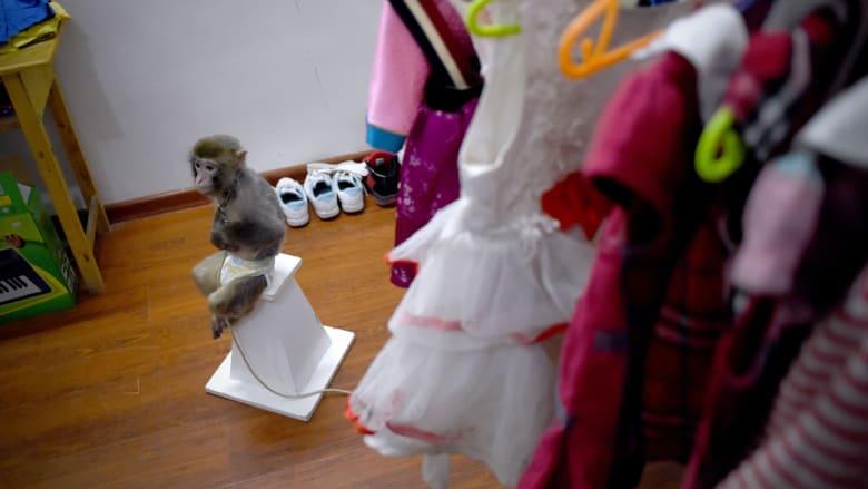 قرد ينتظر لبس الزي قبل أن يؤدي دوره في مدرسة تدريب القرود