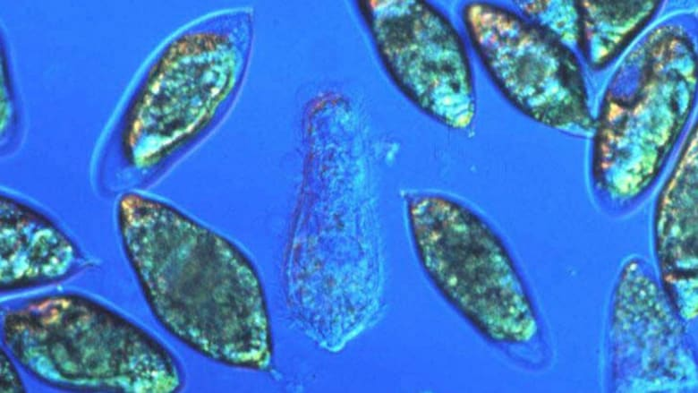 هذه الديدان تنشر مرض البلهارسيا في أفريقيا