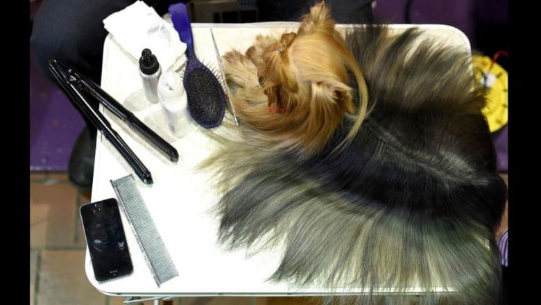 تصفيف شعر وتقليم أظافر.. في عرض أزياء للكلاب فقط!
