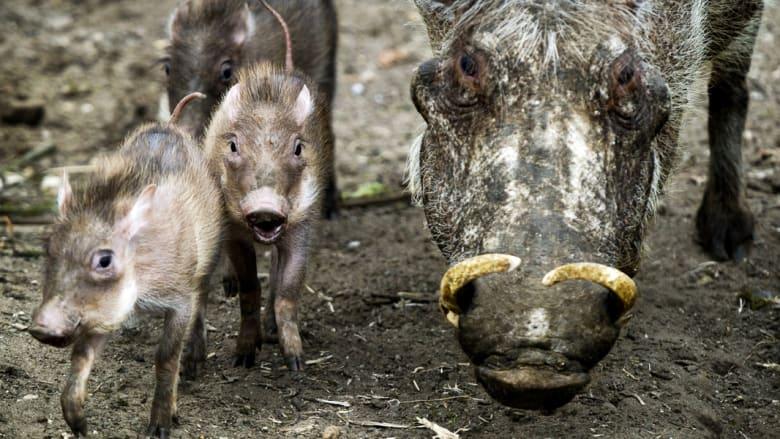 أبشع 5 حيوانات يمكن مشاهدتها في رحلات السفاري