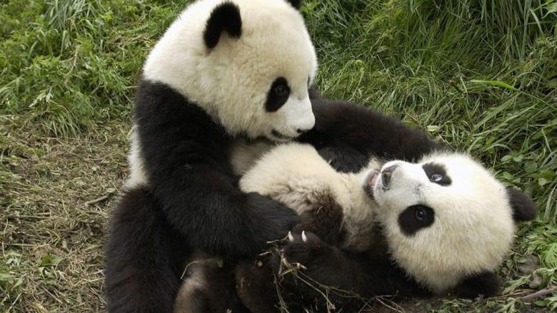 بينها النمور والباندا...حيوانات قد لا يراها الجيل القادم