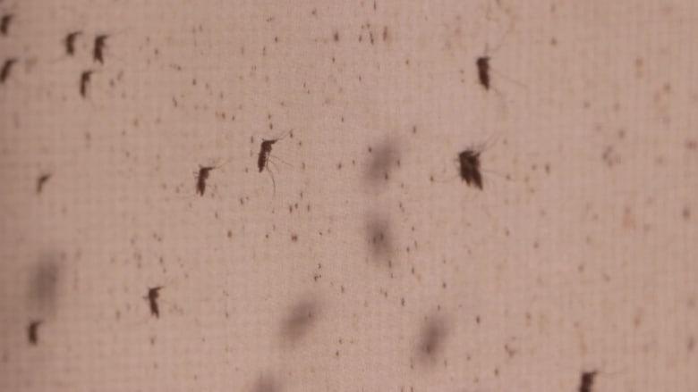 """شاهد.. من داخل """"مصنع البعوض"""" في الصين لمكافحة الأمراض"""