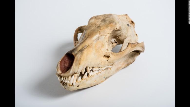 """حيوانات منقرضة معروضة في متحف """"Field museum of Natural History"""""""