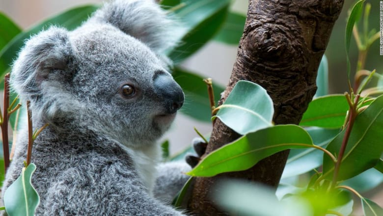 انستغرام تحذر من صور السيلفي مع دببة الكوالا