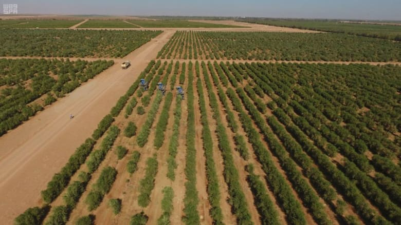 صور لأشجار زيتون ليست باسبانيا..بل بالسعودية