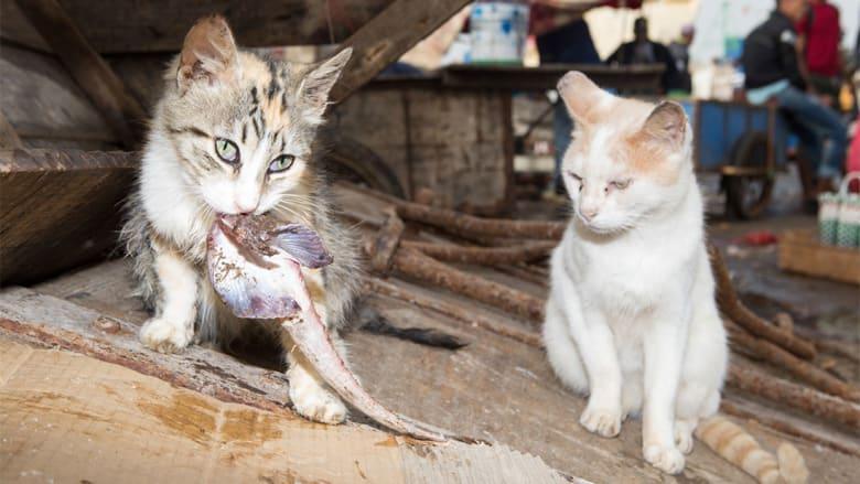 """صور تكشف عن """"مستعمرة قطط"""" في مدينة الصويرة المغربية"""