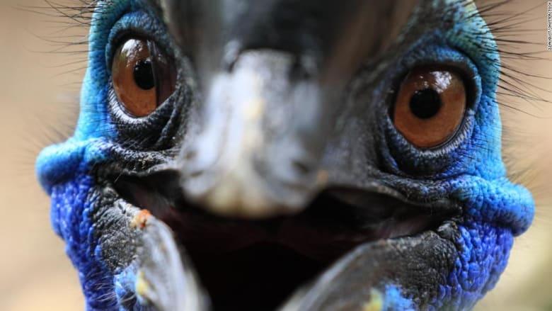 """خطير ولكنه """"ديناصور راقي"""".. كيف يحصل أخطر طائر بالعالم على ريشه اللامع؟"""