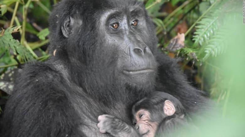طفرة نادرة في أعداد مواليد غوريلات جبلية مهددة بالانقراض في أوغندا