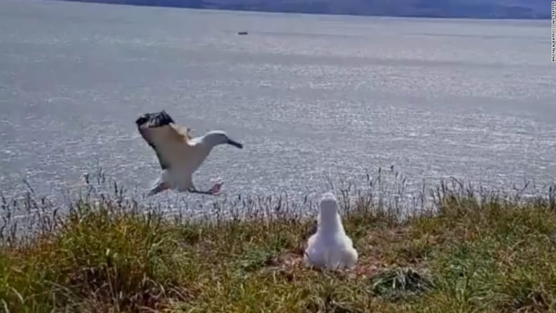 """لحظة هبوط """"فاشلة"""" لأكبر طائر بحري في العالم بنيوزيلندا"""