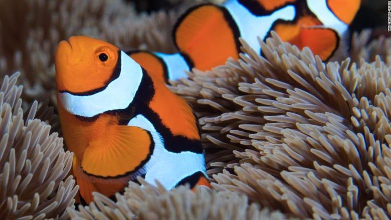 دراسة تكشف عن سر ظهور خطوط بيضاء لسمكة المهرج بشكل سريع